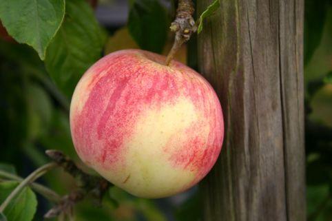 Herbstapfel 'Dithmarscher Paradiesapfel' - Malus 'Dithmarscher Paradiesapfel'