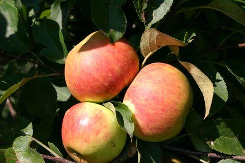 Herbstapfel 'Elstar' ® - Malus domestica 'Elstar' ®