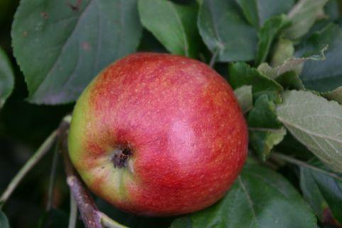 Herbstapfel 'Geflammter Kardinal' - Malus 'Geflammter Kardinal'