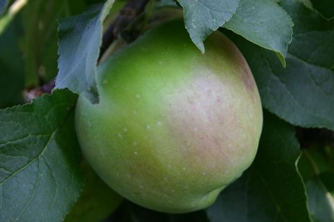 Herbstapfel 'Gehrers Rambur' - Malus 'Gehrers Rambur'