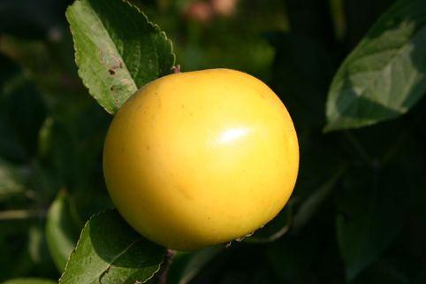 Herbstapfel 'Gelbe Schleswiger Renette' - Malus 'Gelbe Schleswiger Renette'