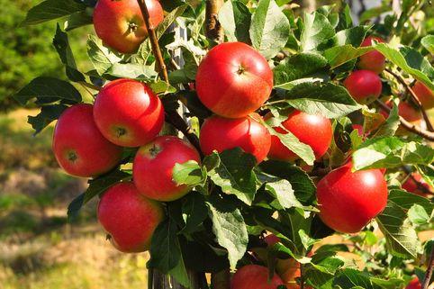 Herbstapfel 'Gerlinde' - Malus 'Gerlinde'