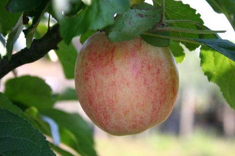 Herbstapfel 'Goldpinz' - Malus 'Goldprinz'