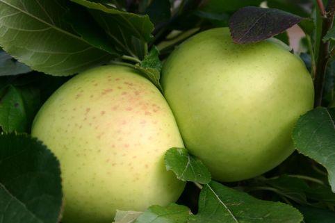 Herbstapfel 'Grahams Jubiläumsapfel', 'Royal Jubilée' - Malus 'Grahams Jubiläumsapfel', 'Royal Jubilée'