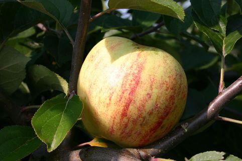 Herbstapfel 'Gravensteiner' - Malus 'Gravensteiner'