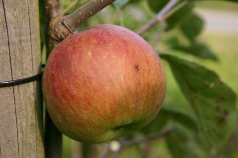 Herbstapfel 'Himbeerapfel von Holowaus' - Malus 'Himbeerapfel von Holowaus'