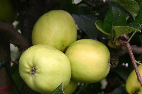 Herbstapfel 'Holsteiner Zitronenapfel' - Malus 'Holsteiner Zitronenapfel'
