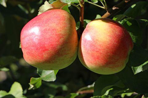 Herbstapfel 'Jakob Fischer' - Malus 'Jakob Fischer'