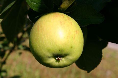 Herbstapfel 'Jakob Lebel' - Malus 'Jakob Lebel'