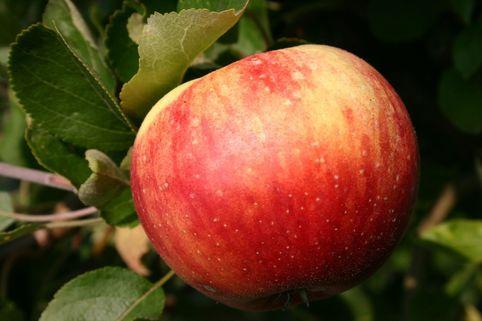 Herbstapfel 'Juwel aus Kirchwerder' - Malus 'Juwel aus Kirchwerder'