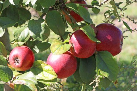 Herbstapfel 'Kardinal Bea' - Malus 'Kardinal Bea'