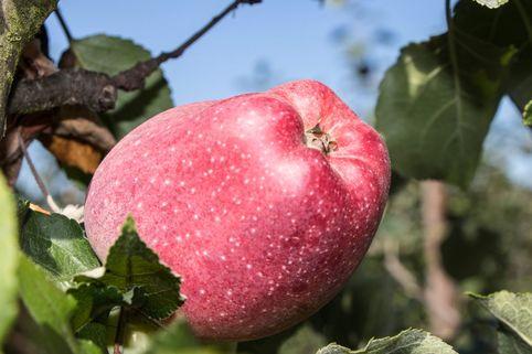 Herbstapfel 'Maren Nissen' - Malus 'Maren Nissen'