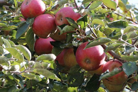 Herbstapfel 'McIntosh' - Malus domestica 'McIntosh'