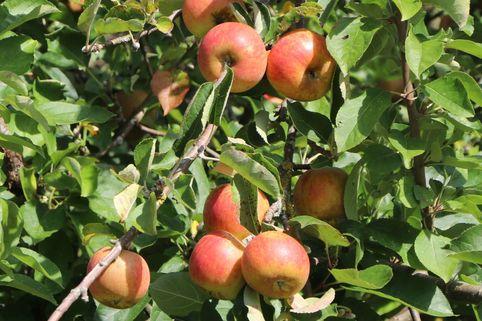 Herbstapfel 'Merkur' ® - Malus 'Merkur' ®