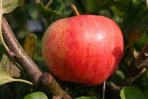 Herbstapfel 'Moringer Rosenapfel' - Malus 'Moringer Rosenapfel'
