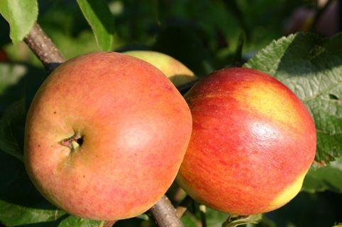 Herbstapfel 'Mutterapfel' - Malus 'Mutterapfel'