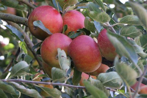 Herbstapfel 'Pia' - Malus 'Pia'