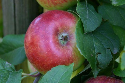 Herbstapfel Prinz Albrecht