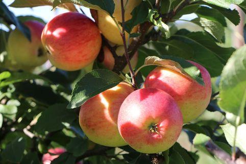 Herbstapfel 'Rebella' ® - Malus 'Rebella' ®