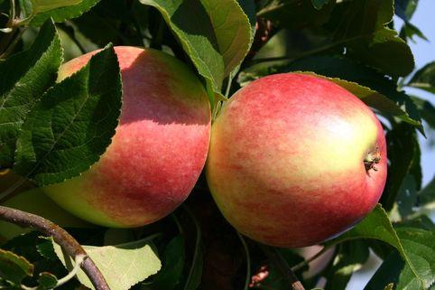 Herbstapfel 'Reglindis' ® - Malus 'Reglindis' ®