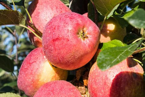 Herbstapfel 'Remo' ® - Malus 'Remo' ®