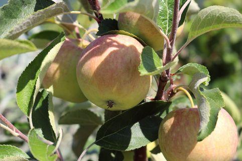Herbstapfel 'Resi' - Malus 'Resi'