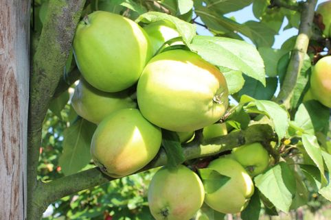 Herbstapfel 'Rheinische Schafsnase', 'Apfelmuser' - Malus 'Rheinische Schafsnase', 'Apfelmuser'