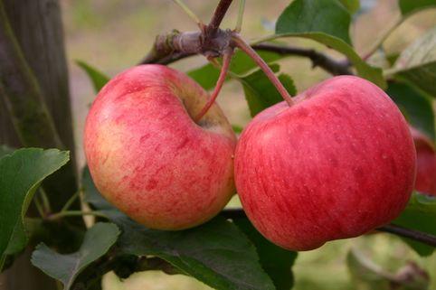 Herbstapfel 'Rubinola' - Malus 'Rubinola'