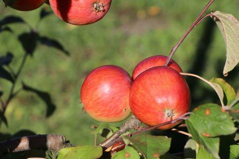 Herbstapfel 'Schöner von Herrnhut' - Malus 'Schöner von Herrnhut'