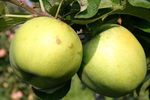Herbstapfel Seestermüher Zitronenapfel