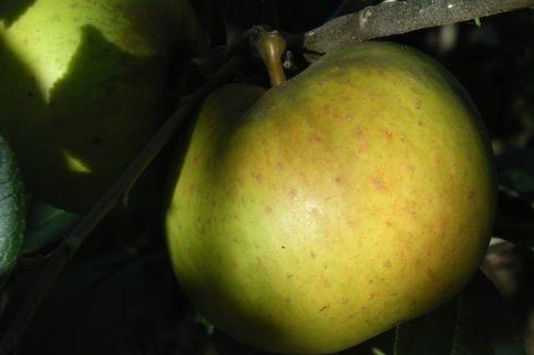 Herbstapfel 'Signe Tillisch' - Malus 'Signe Tillisch'