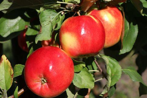 Herbstapfel 'Teser' - Malus 'Teser'