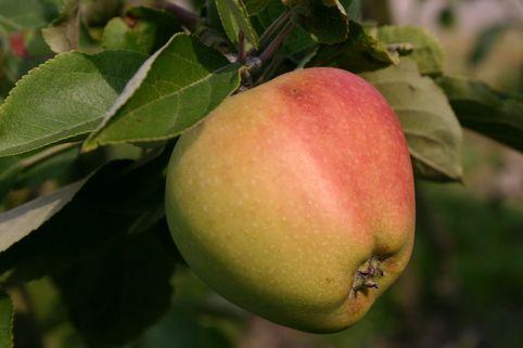 Herbstapfel 'Tulpenapfel', 'Freiherr von Trauttenberg' - Malus 'Tulpenapfel', 'Freiherr von Trauttenberg'