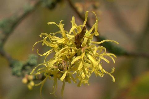 Herbstblühende Virginische Zaubernuss - Hamamelis virginiana