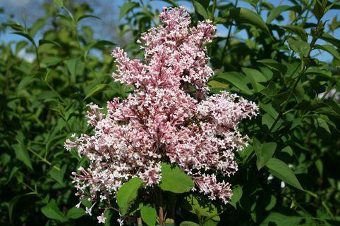 Kleinblättriger Herbstflieder 'Superba' - Syringa microphylla 'Superba'