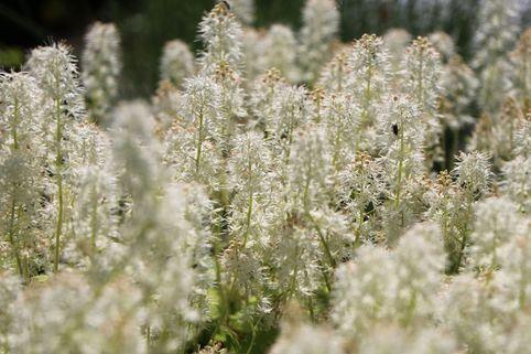 Herzblättrige Schaumblüte 'Moorgrün' - Tiarella cordifolia 'Moorgrün'