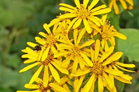 Hesses-Goldkolben 'Gregynog Gold' - Ligularia x hessei 'Gregynog Gold'