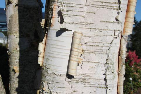 Himalajabirke - Betula utilis var. jacquemontii