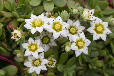 Himalaya Dickröschen - Sedum sedoides