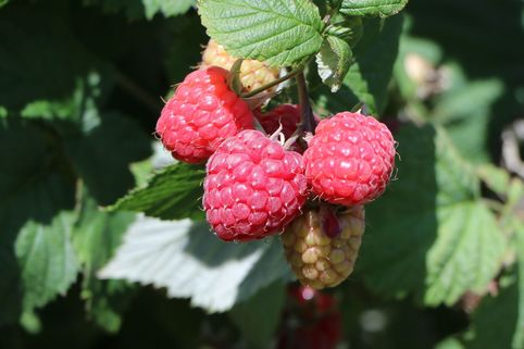Himbeere 'Aroma Queen' - Rubus idaeus 'Aroma Queen' ®