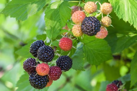 Himbeere 'Black Jewel' - Rubus idaeus 'Black Jewel'