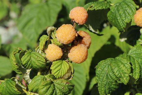 Himbeere 'Poranna Rosa' ® - Rubus idaeus 'Poranna Rosa' ®
