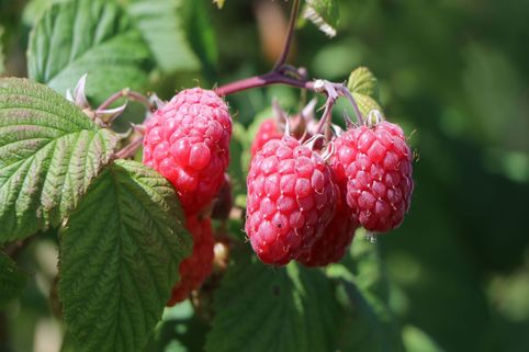 Himbeere 'Summer Chef' ® - Rubus idaeus 'Summer Chef' ®