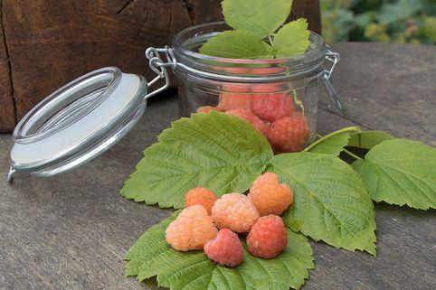 Himbeere 'Valentina' ® - Rubus idaeus 'Valentina' ®