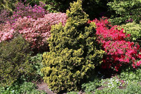 Hinoki-Scheinzypresse 'Aurora' - Chamaecyparis obtusa 'Aurora'