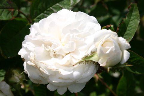 Historische Rose 'Blanche Moreau' - Rosa 'Blanche Moreau'