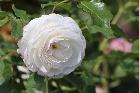 Historische Rose 'Boule de Neige' - Rosa 'Boule de Neige'