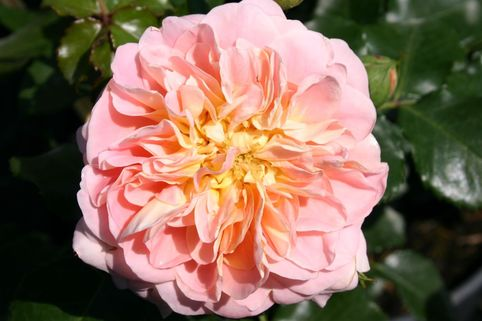 Historische Rose 'Buff Beauty' - Rosa 'Buff Beauty'