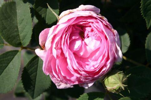Historische Rose 'Conrad Ferdinand Meyer' - Rosa rugosa 'Conrad Ferdinand Meyer'