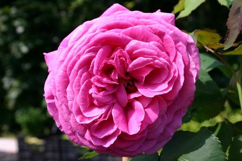 Historische Rose 'Mme Isaac Pereire' - Rosa 'Mme Isaac Pereire'